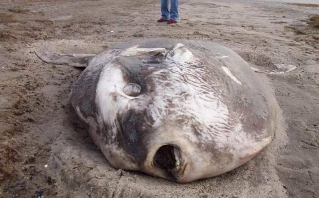 Samogłów - największa ryba kostnoszkieletowa 15