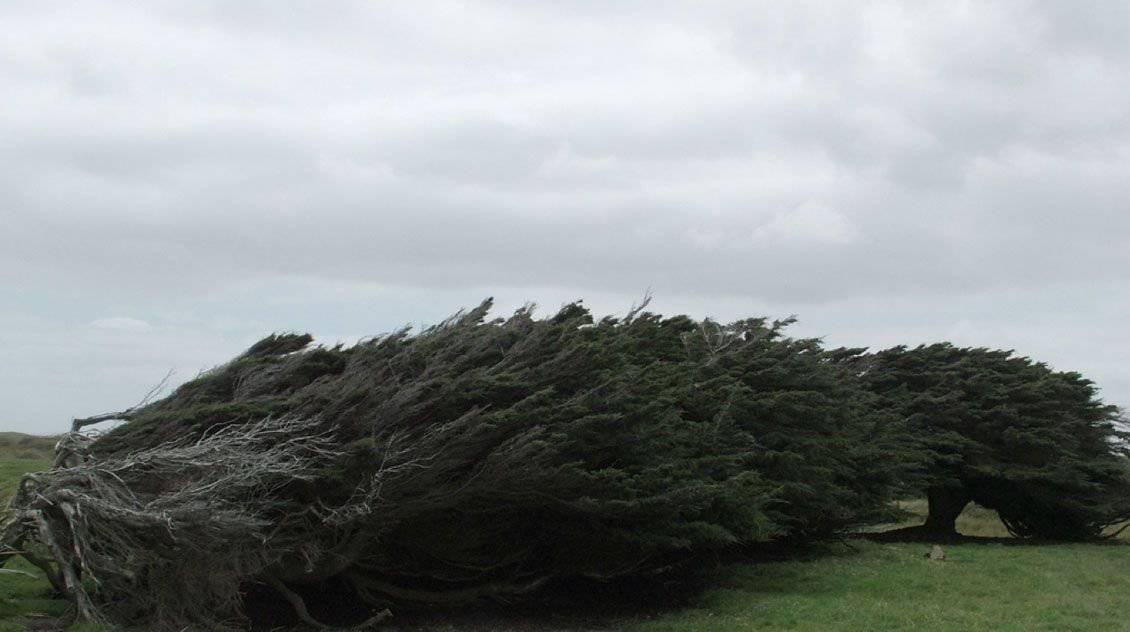 Drzewa uformowane przez wiatr 13