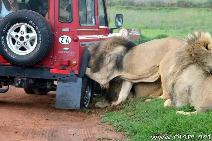 Atak lwów 1