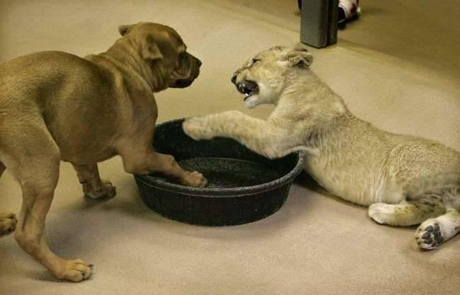 Pies i lew 8