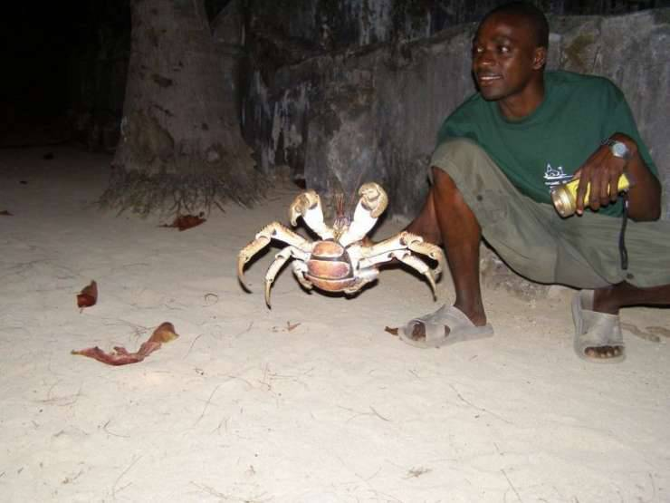 Krab palmowy 6