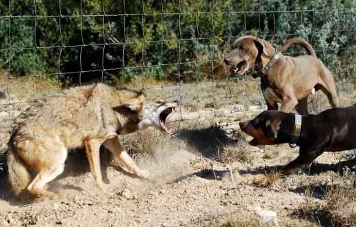 Z kojotem trzeba ostrożnie 4